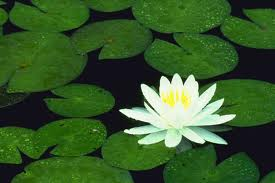 lily-pads