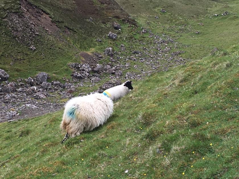 Yet more sheep.jpg