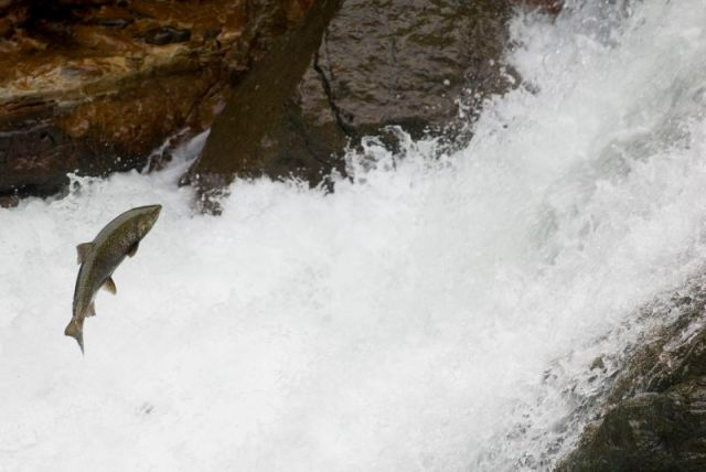 Spawning salmon-3.jpg